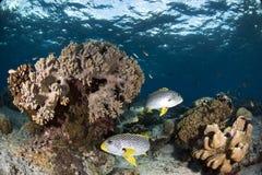 在珊瑚礁的甜嘴唇鱼有蓝色背景 免版税库存照片