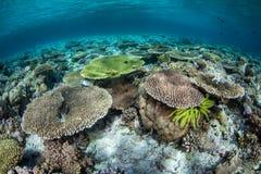 在珊瑚礁的生物多样性在印度尼西亚 免版税库存照片