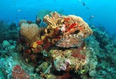 在珊瑚礁的石斑鱼鱼 库存图片
