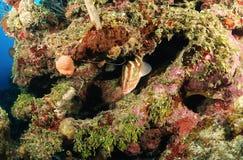 在珊瑚礁的石斑鱼鱼 免版税库存图片