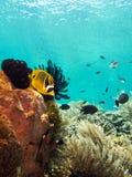 在珊瑚礁的蝴蝶鱼 免版税库存照片