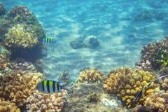 在珊瑚礁的镶边军士鱼 热带海滨居民水下的照片 图库摄影