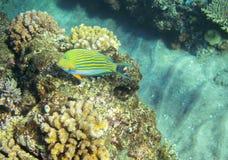 在珊瑚礁的镶边外科医生鱼 热带海滨居民水下的照片 免版税库存照片
