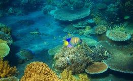 在珊瑚礁的镶边天使鱼 热带海滨居民水下的照片 图库摄影