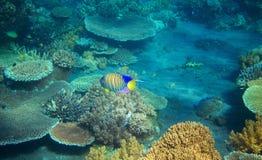 在珊瑚礁的镶边天使鱼 热带海滨居民水下的照片 库存照片