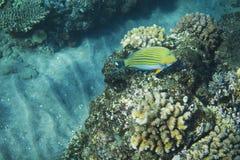 在珊瑚礁的镶边矛状棘鱼 热带海滨居民水下的照片 库存照片