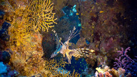 在珊瑚礁的非洲蓑鱼 库存图片