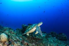 在珊瑚礁的绿海龟 库存图片