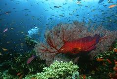 在珊瑚礁的轻潜水员观看的石斑鱼 免版税库存照片
