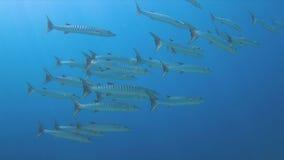 在珊瑚礁的4k Blackfin梭子鱼 库存照片