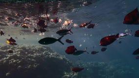 在珊瑚礁背景的美丽的红色黄色和蓝色鱼  ( 股票视频