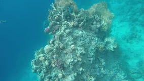 在珊瑚礁背景的鱼  股票录像
