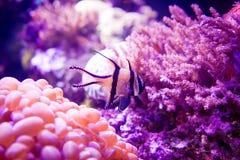 在珊瑚礁银莲花属的鱼 库存图片