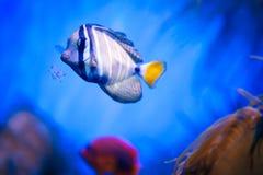 在珊瑚礁银莲花属的Orangeblotch鱼 库存图片
