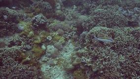 在珊瑚礁附近的异乎寻常的鱼游泳在海底水下的视图 游泳水下的射击的一会儿佩戴水肺的潜水的鱼  影视素材