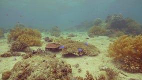 在珊瑚礁附近的异乎寻常的鱼游泳在海底 水下的游泳在海洋水中的风景热带鱼 注意 股票录像