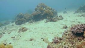 在珊瑚礁附近的热带鱼游泳在海底 水下的风景游泳的鱼在清楚的海洋水中 注意 影视素材