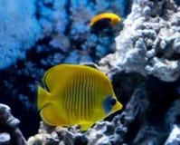 在珊瑚礁风景的明亮的黄色热带鱼 免版税库存照片