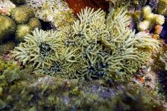 在珊瑚礁(Lebrunia达纳埃)的分支的银莲花属 免版税库存图片