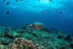 在珊瑚礁sipadan海岛上的绿海龟 免版税库存照片