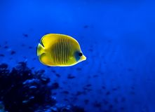 在珊瑚背景的明亮的黄色鱼水中在红海 免版税图库摄影