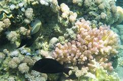 在珊瑚附近的两条鱼 免版税库存图片