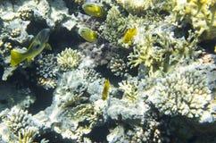 在珊瑚附近的明亮的鱼 免版税库存照片
