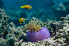 在珊瑚附近的美丽的黄色热带鱼在马尔代夫 免版税库存照片