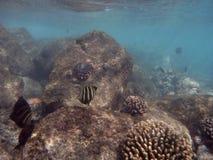 在珊瑚附近钓鱼游泳在Hanauma海湾下水  免版税库存照片