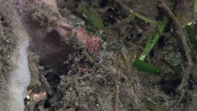 在珊瑚水中的红色虾在菲律宾海洋  影视素材