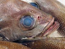 在珍珠栖息处鱼,悉尼,澳大利亚的蓝眼睛 库存图片