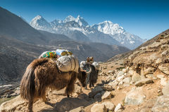 在珠穆琅玛尼泊尔的牦牛 库存照片