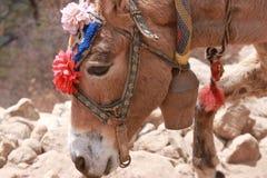 在珠穆琅玛营地艰苦跋涉的尼泊尔驴 免版税库存图片