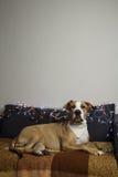 在班丹纳花绸的狗在长沙发在有圣诞树的客厅设置了a 免版税图库摄影