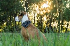 在班丹纳花绸的狗在高草坐 库存图片