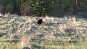 在班夫国家公园的一只大黑熊在亚伯大 股票录像