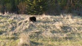 在班夫国家公园的一只大黑熊在亚伯大 股票视频