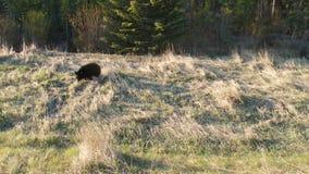 在班夫国家公园的一只大黑熊在亚伯大 影视素材