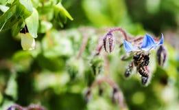 在琉璃苣的蜂 库存图片