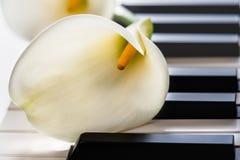 在琴键的美丽的水芋属花 免版税库存照片