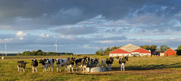 在瑞典农场的母牛 库存图片
