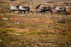 在瑞典寒带草原的驯鹿牧群 免版税库存图片