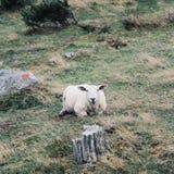 在瑞典的西部部分小山的最逗人喜爱的绵羊  免版税库存照片