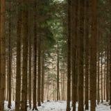 在瑞士冬天期间,密集的树 免版税库存图片