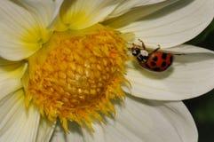 在瓣的瓢虫 免版税库存照片
