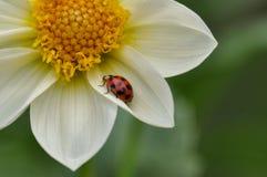 在瓣的瓢虫 免版税图库摄影