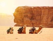 在瓦地伦沙丘的骆驼离开,约旦 晴朗的日 沙漠旅行背景 免版税库存图片