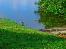 在瓦尔登湖湖的年轻人海鸟 免版税图库摄影