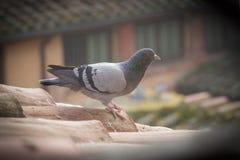 在瓦屋顶的一只鸽子 小插图作用 免版税库存图片
