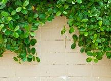 在瓦片墙壁上的绿色叶子 库存照片